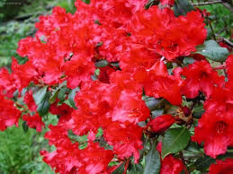 http://www.celysvet.cz/fotky-rododendron--azalka-foto-obrazky?rr=4