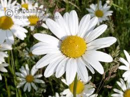 http://fotobanka.mlhovina.cz/obrazek-98-q-Kopretina-bila-Leucanthemum-vulgare